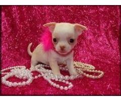 *ultra Tiny Stunning Blue/white Chihuahua Female*