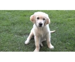 English Cream Golden Retriever Puppies available