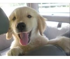 AKC English Cream Golden Retriever puppies *Champion Bloodlines*