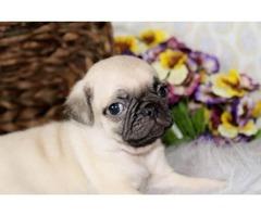 Pug-Female-Lady for a good home