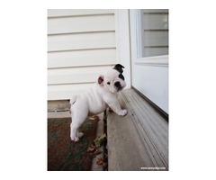 Healthy English Bulldog Puppies For Re Homing