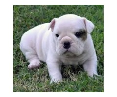 Outsanding Bulldog puppies For A New Home'
