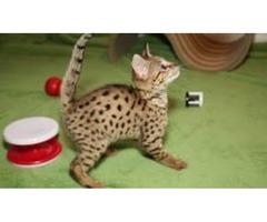Nice Savannah Kittens Available.