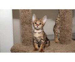 Savannah Kittens For Adoption now