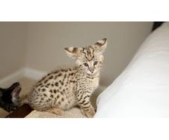 Beautiful F1 Savannah Kittens for adoption