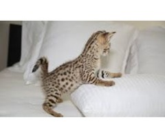 Outsanding Savannah Kittens For A New Home