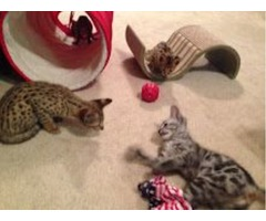 - Beautiful F1 Savannah Kittens for adoption-