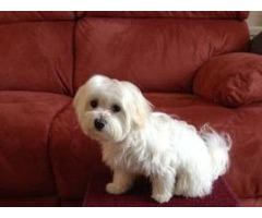 Excellent male and female Maltese puppies For Re homing