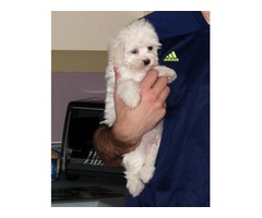 Adorable and Splendid Maltese Pupps for re homing