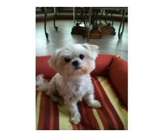 Amazing Maltese puppies available