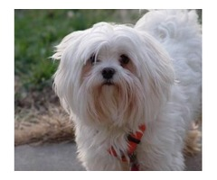 Cute and Affectionate male and female Maltese puppies available