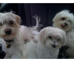 Fully Registered Maltese puppies ready