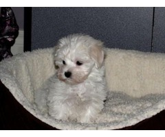 Registered Maltese puppies ready for adoption
