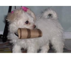 Outstanding Tiny size Maltese puppies available
