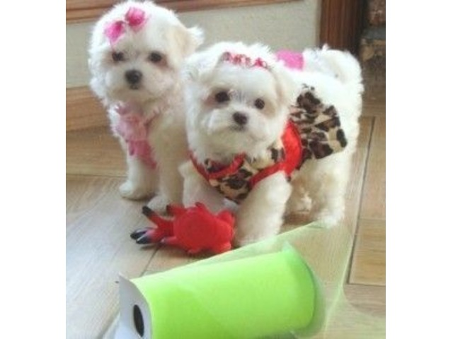T-cup size Maltese puppies ready for Good Home | free-classifieds-usa.com