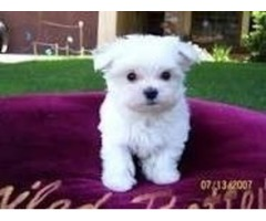Tiny male and female Maltese Puppies for adoption