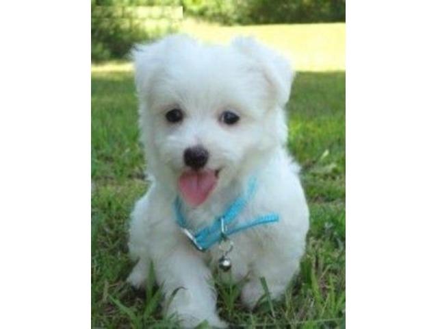 WE HAVE STANDARD MALTESE PUPPIES - Animals - Oklahoma USA
