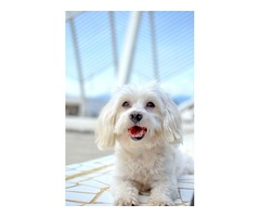 Adorable and Cute Two Maltese Pupps for re homing