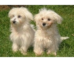 Registered Maltese puppies available for re homing