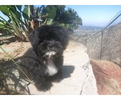 CHUNKY LHASA APSO PUPS MALE AND FEMALE AVAILABLE.