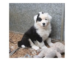 11 Weeks Male Australian Shepherd Puppies