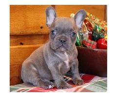 Beautiful French Bulldog Pups.
