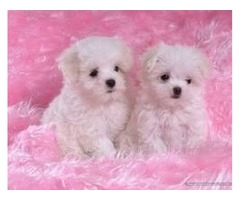 Tiny male and female Maltese Puppies for adoption(484)381-0472