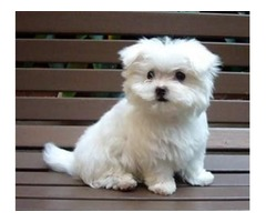 Registered Maltese puppies for adoption