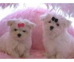 Affectionate male and female Maltese puppies available