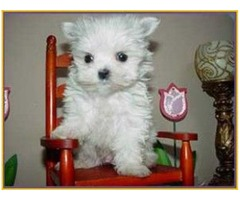 Awesome Maltese Pupps for re homing