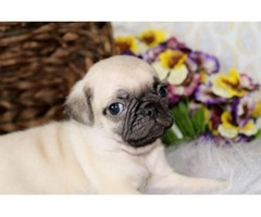 Pug-Female-Lady for a good home