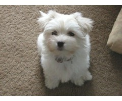 Healthy male and female Maltese puppies ready