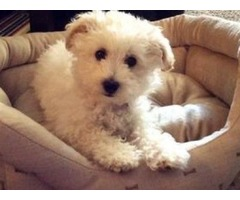 Lovely Male And Female Maltese Puppies