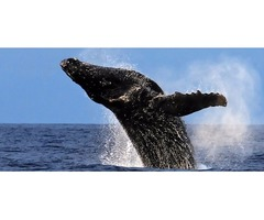 Snorkel Cruises, Whale Watching and Big Island Tours with Kohala Tours