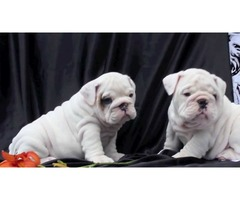 Beautiful  English Bulldog Puppies for sale, males and females