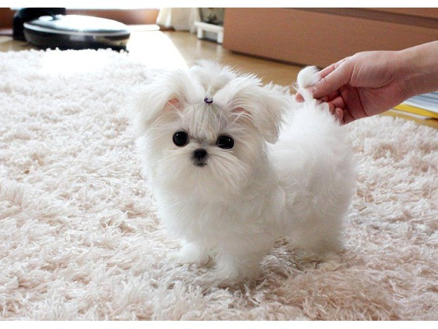 Supper Cute Teacup Maltese Puppies for sale, males and ...