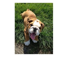 Precious Bulldog Puppies For Re homing