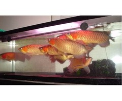 Super Red Arowana Fish and Many Others Available For Sale