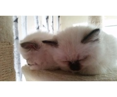 Two beautiful Home Raised Birman Kittens for adoption.