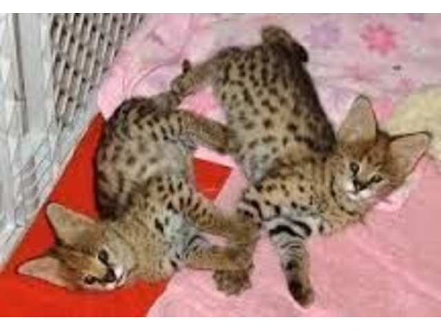 Pretty Kittens For New Homes | free-classifieds-usa.com