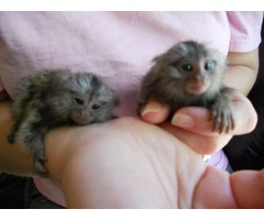 Energetic finger marmoset and Capuchin monkeys available
