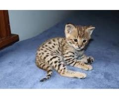 Healthy TICA F1 Savannah Kittens