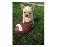 Healthy Adorable Bulldog Puppies availabl
