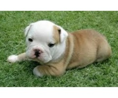 Eng Bulldog Puppies For Any Loving Home