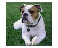 Home English Bulldog Puppies available now