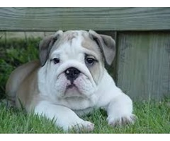 Beautiful English Bulldog For Re Homing..