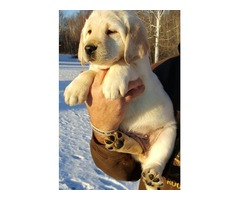 Sweet Adorable Golden Retriever puppies for sale