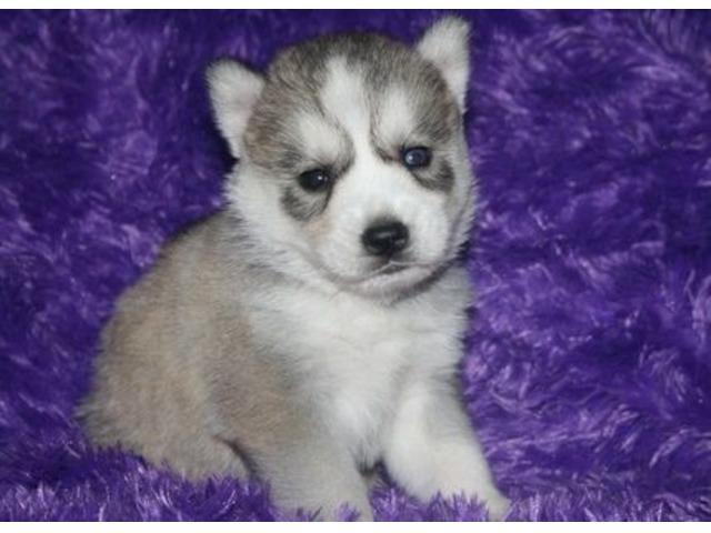 Cute Siberian Husky Puppies. | free-classifieds-usa.com