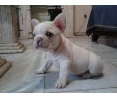Breath taking teacup french puppies available