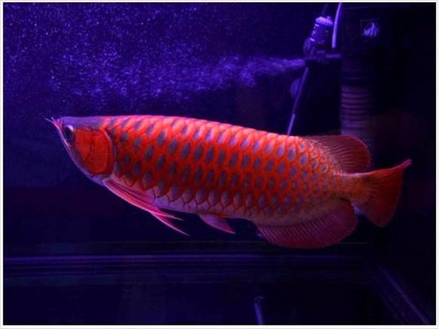 Asian red arowanas from asia and many others now animals for Red arowana fish for sale in usa